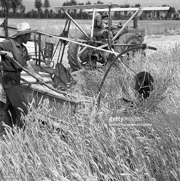 Two farmers harvest corn in Portogruaro Venice 1950s