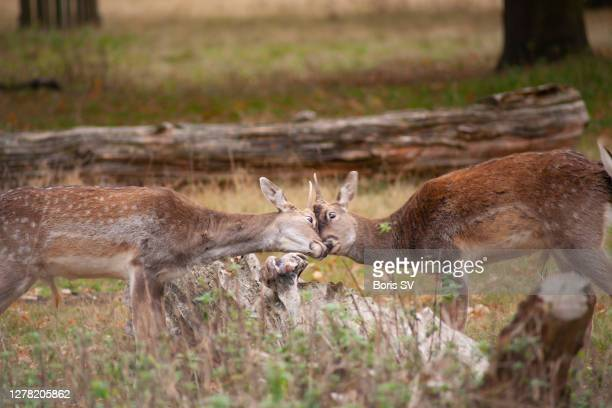 two fawns fighting - boris stock pictures, royalty-free photos & images