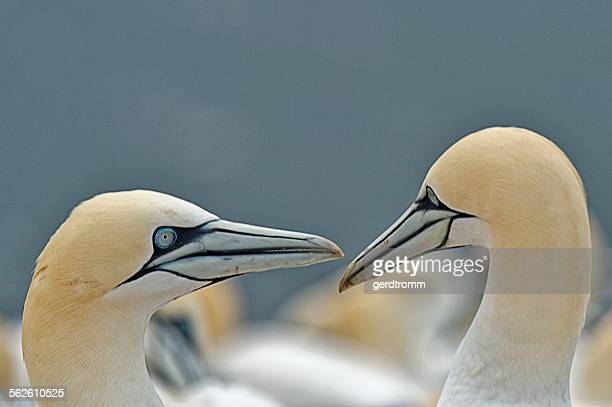 Two fell gannets looking at each other, Helgoland, Germany
