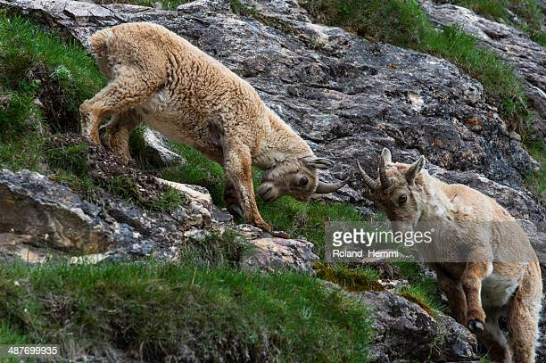 Two female Alpine Ibexes -Capra ibex-, Graubuenden, Switzerland