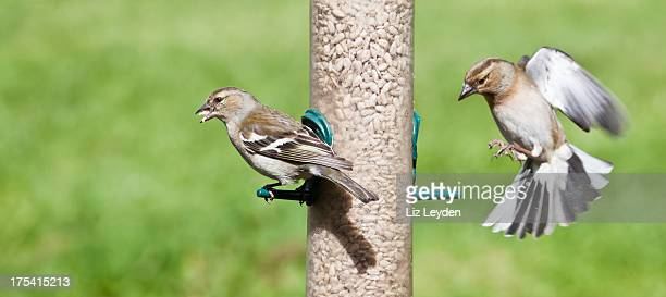 Two female Chaffinches on a sunflower seed feeder