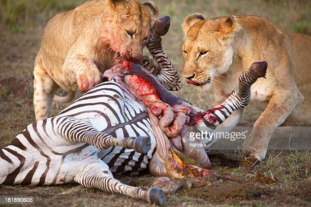 Two female lions tearing dead zebra