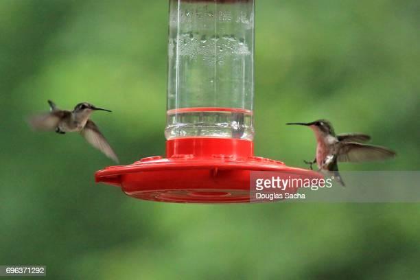 Two female Ruby-throated Hummingbirds (Archilochus colubris)