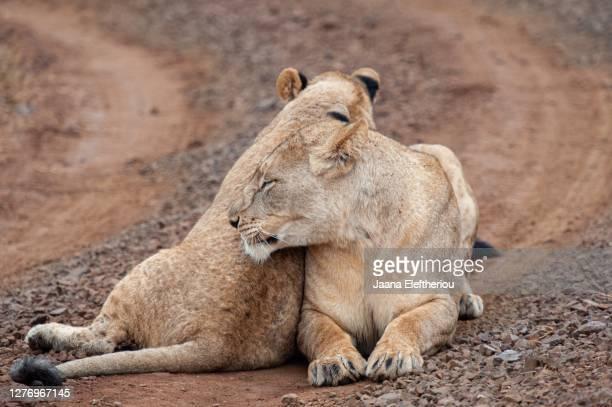 two females lying together - 動物の行動 ストックフォトと画像