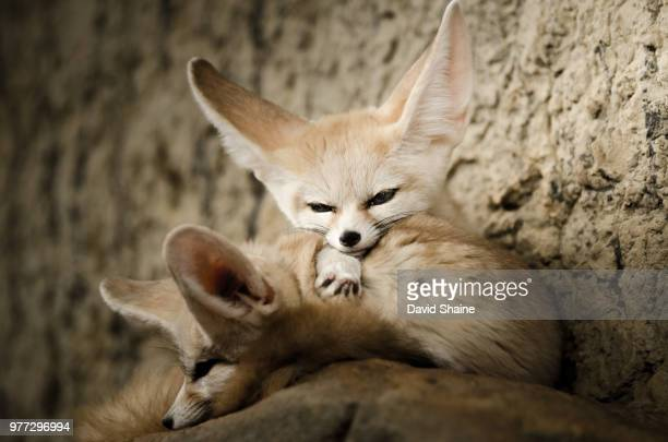 two fennec foxes (vulpes zerda) cuddling together, chattanooga, tennessee, usa - fennec photos et images de collection