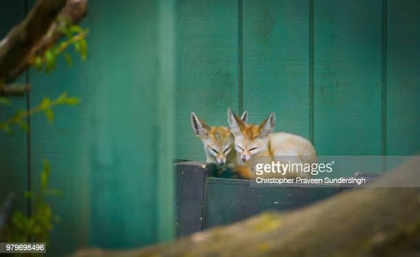 two fennec foxes (vulpes zerda) sleeping - fennec photos et images de collection