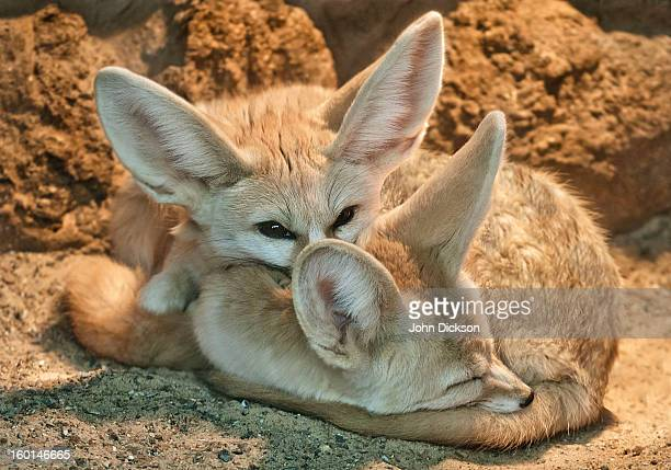 two fennec fox's - fennec fox stock photos and pictures