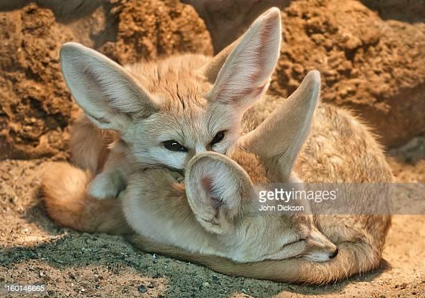 two fennec fox's - fennec photos et images de collection