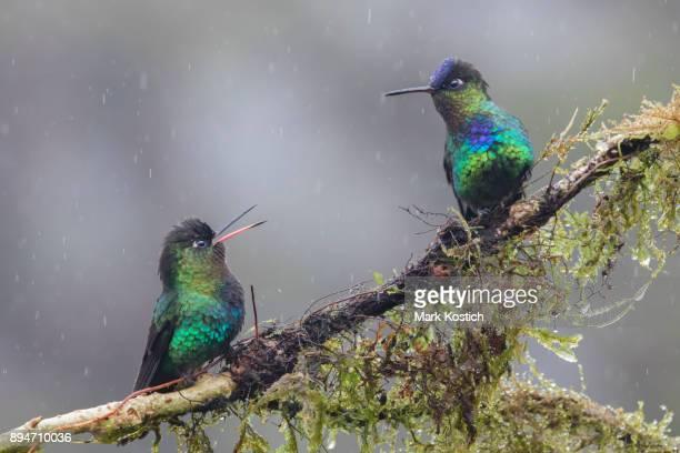 Two Fiery-throated Hummingbirds walking in the rain