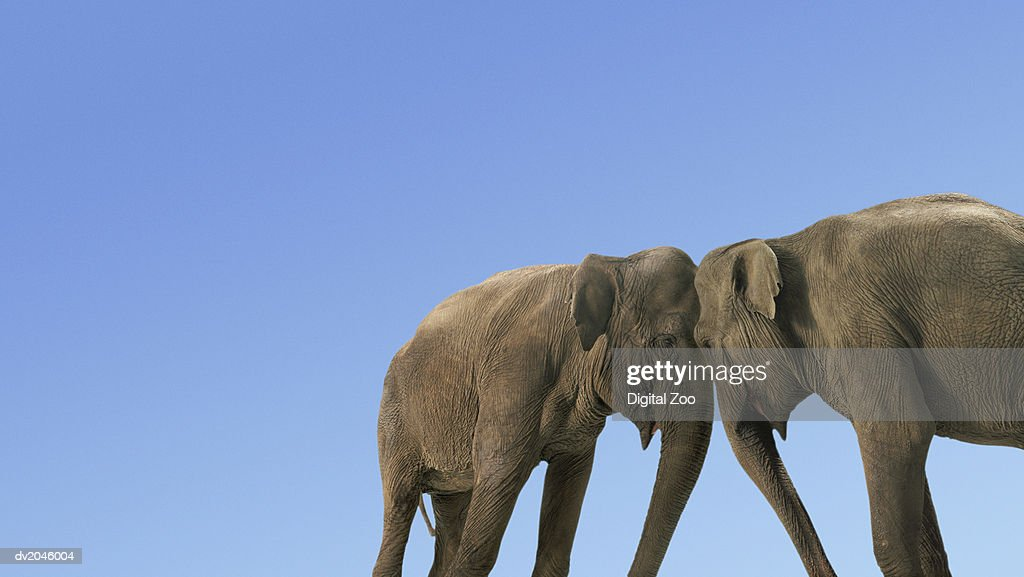 Two Fighting Elephants : Stock Photo
