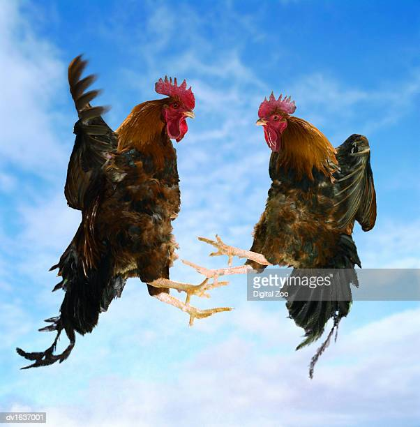 Two Fighting Roosters in Mid-Air