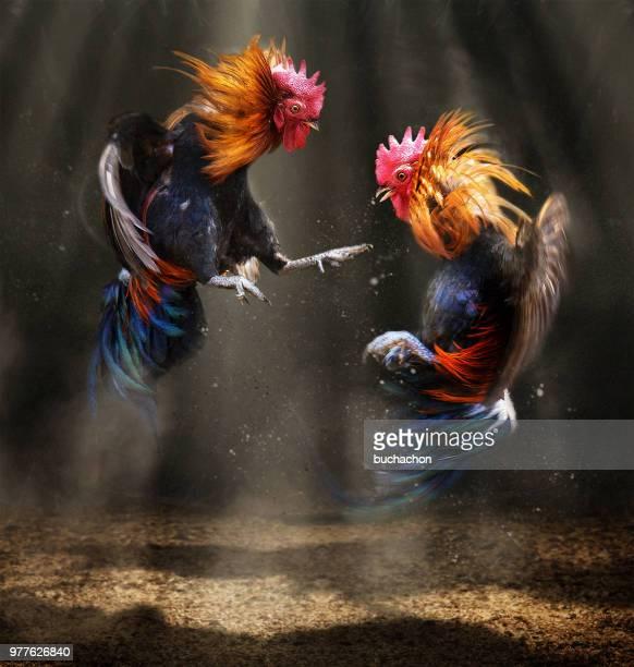 two fighting roosters - kämpfen stock-fotos und bilder