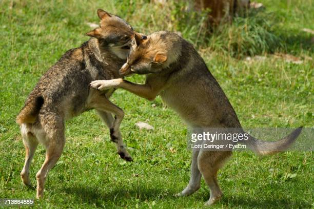 Two Fighting Wolves