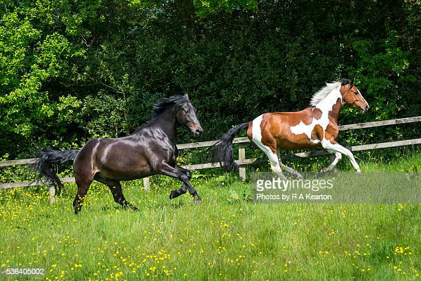 two fine horses enjoying the summer sunshine - gras stock pictures, royalty-free photos & images