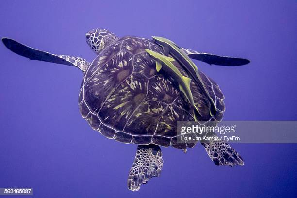 Two Fish And Sea Turtle