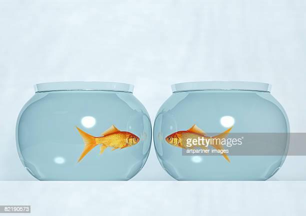 two fish bowls with goldfish - fish love stockfoto's en -beelden
