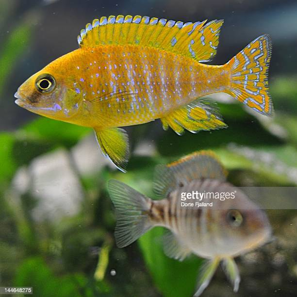 two fish in fish tank - dorte fjalland stock-fotos und bilder