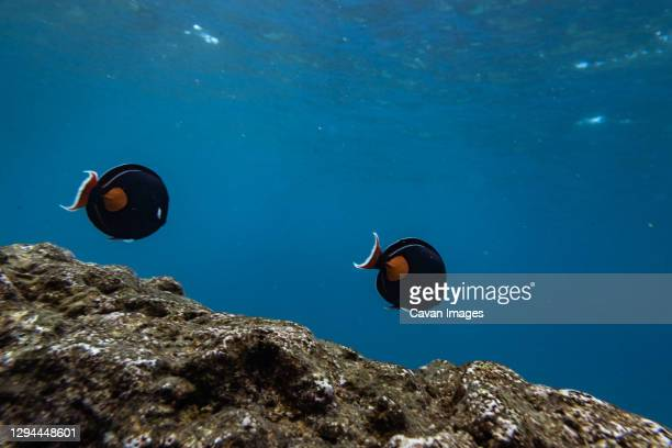 two fish swim in a row above coral in the clear blue waters of hawaii - media_in_honolulu,_hawaii stock pictures, royalty-free photos & images