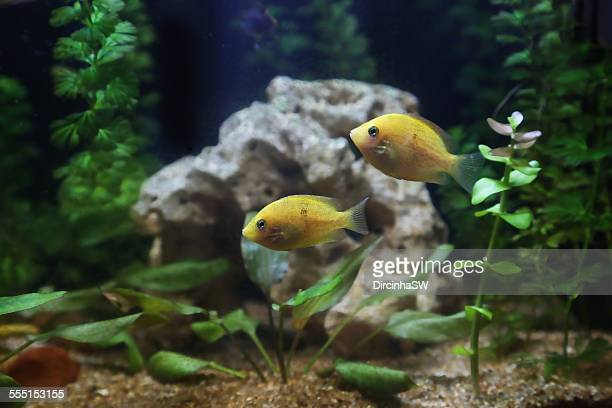 two fishes swimming in the aquarium - 中南米 ストックフォトと画像