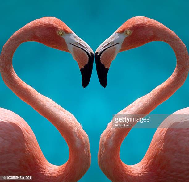 Two flamingoes courting, close-up