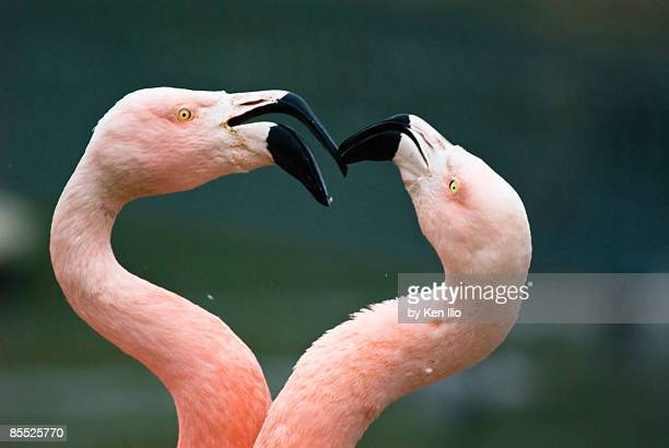 two flamingoes together - ken ilio stock pictures, royalty-free photos & images