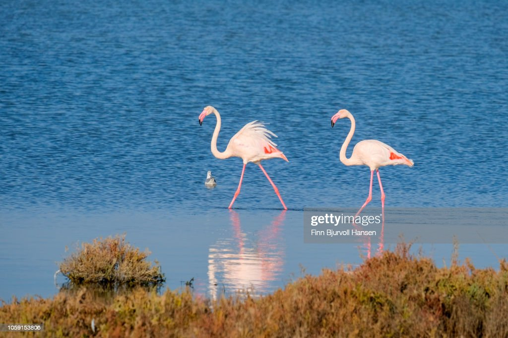 Two flamingoes walking i shallow water making a reflection : Stock Photo