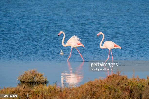 two flamingoes walking i shallow water making a reflection - finn bjurvoll stock pictures, royalty-free photos & images