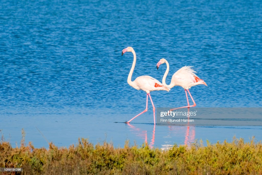 Two flamingoes walking in shallow water making a reflection : Stock Photo