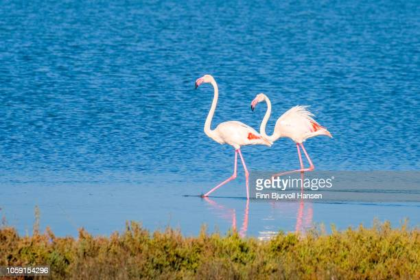 two flamingoes walking in shallow water making a reflection - finn bjurvoll stock pictures, royalty-free photos & images