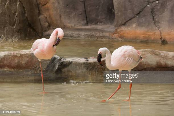 two flamingos - freshwater bird stock photos and pictures