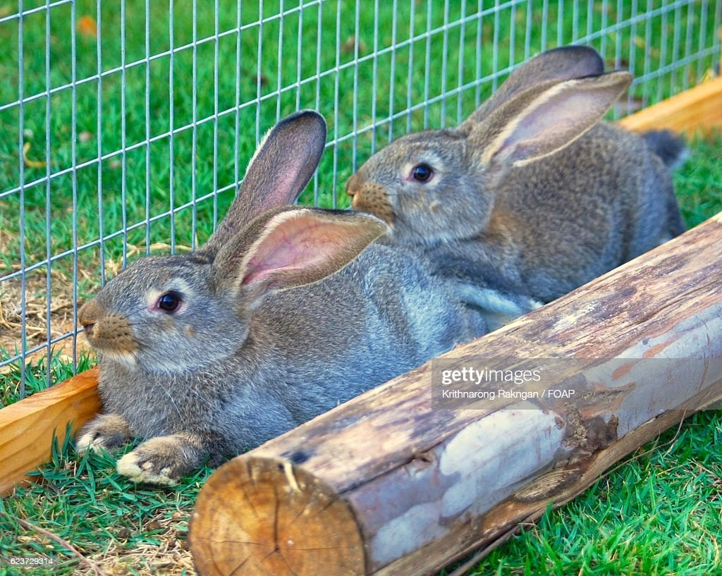 Two Flemish Giant Rabbits In Garden High Res Stock Photo