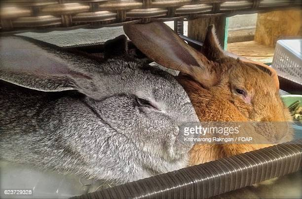 Two Flemish giant rabbits underneath a sofa