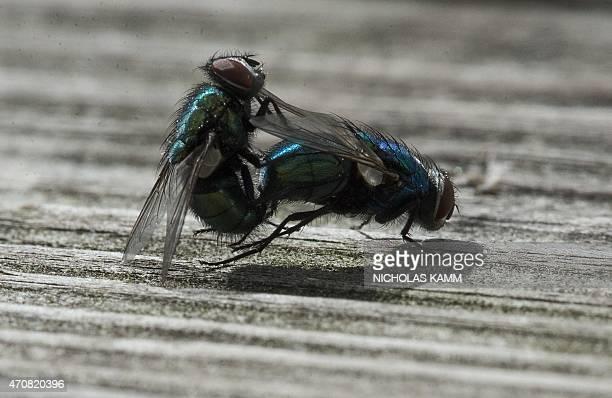 Two flies copulate in Washington DC on April 23 2015 AFP PHOTO/NICHOLAS KAMM