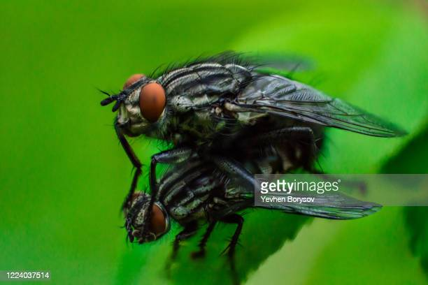 """two flies on a green leaf.""""none fly sits on another. super macro photo of insects. insect reproduction process. concept of macro world - images of ugly feet stock pictures, royalty-free photos & images"""