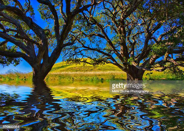 two flooded oaks - california flood stock photos and pictures