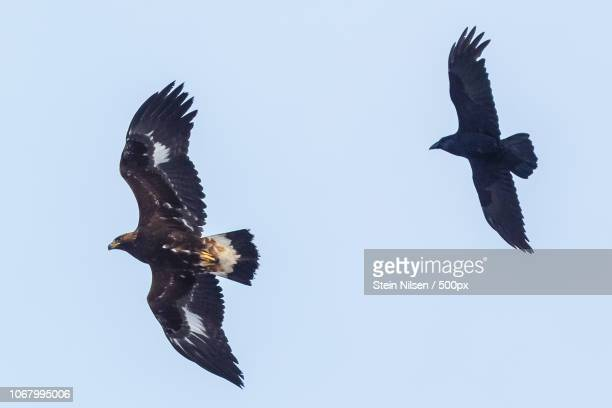 two flying birds captured from below - aigle royal photos et images de collection