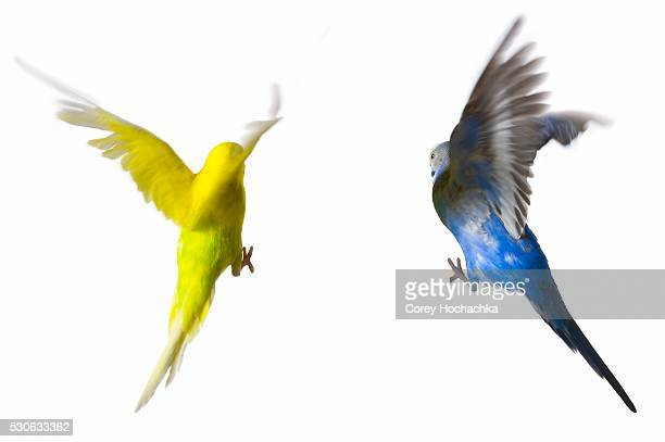 Two Flying Budgerigars