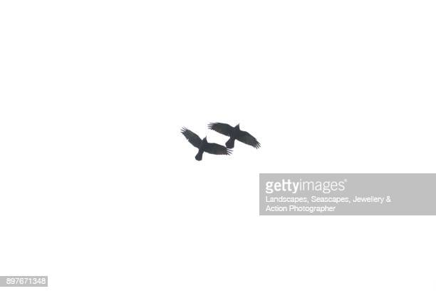 two flying crows in silhouette - crow bird stock photos and pictures