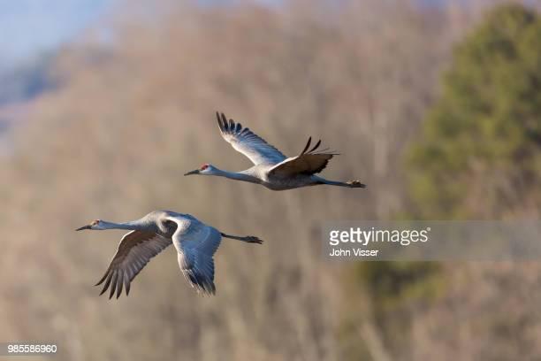 two flying sandhill cranes. - カナダヅル ストックフォトと画像
