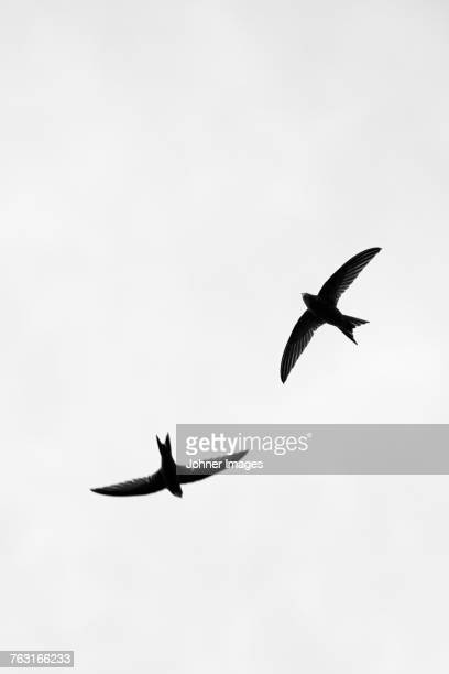 two flying swallows - swallow bird stock pictures, royalty-free photos & images