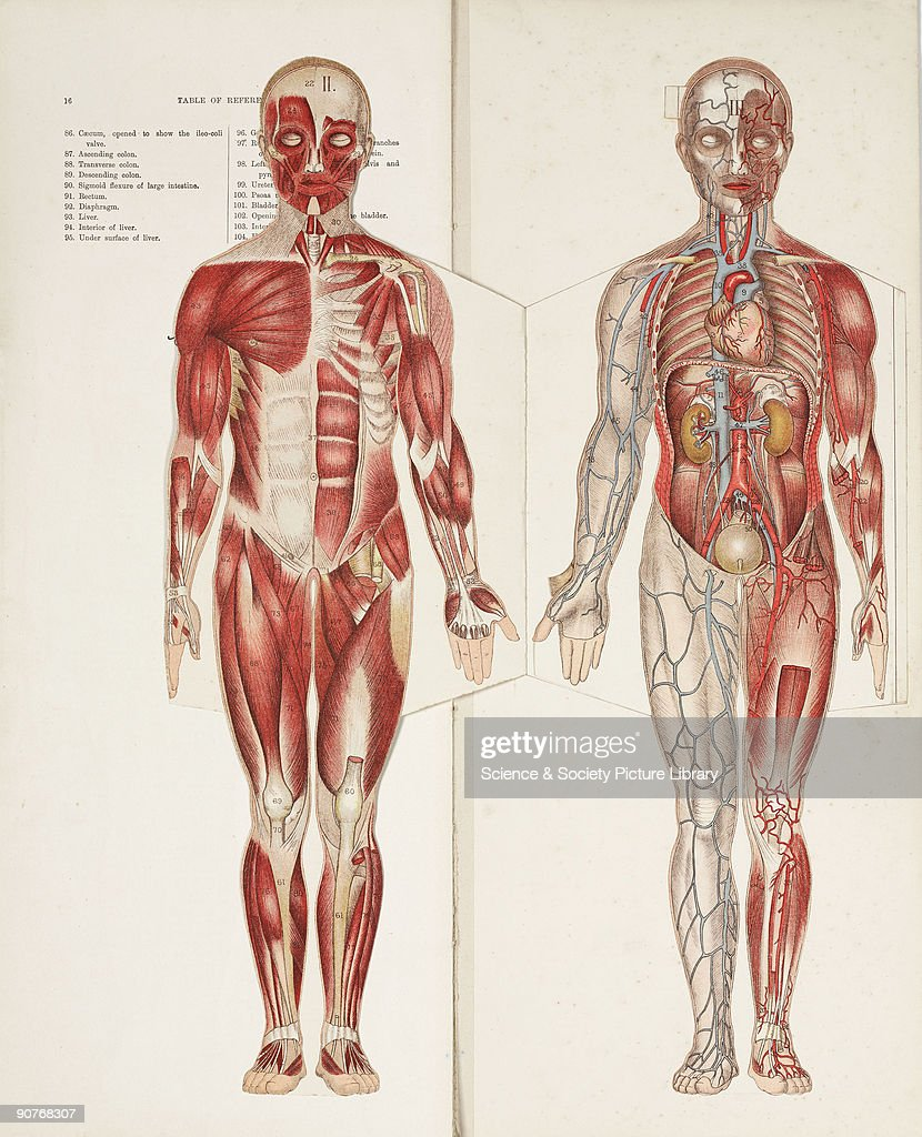 Two Folding Paper Illustrations Showing The Musculature And The