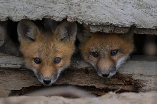 Two fox cubs peeking 943551556