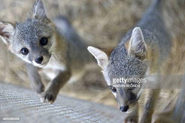 Two foxes are pictured at Salvador's National Zoo on March 6 2015 AFP PHOTO / Marvin RECINOS