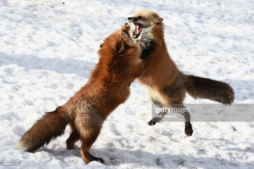 Foxes in a Snow Field in Miyagi