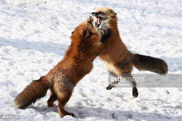 Two foxes fight in the snow at the Zao Fox Village on January 21 2018 in Shiroishi Japan