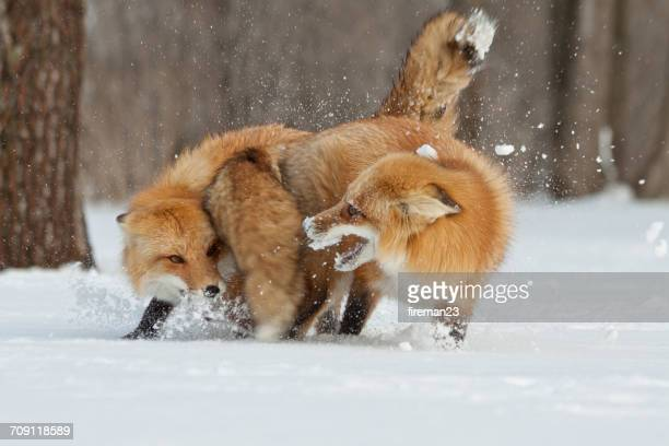 Two foxes fighting in the snow, Montreal, Canada