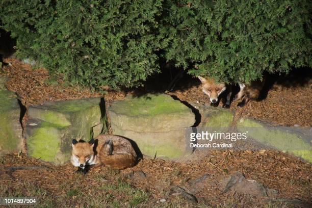 two foxes in garden - サットンコールドフィールド ストックフォトと画像