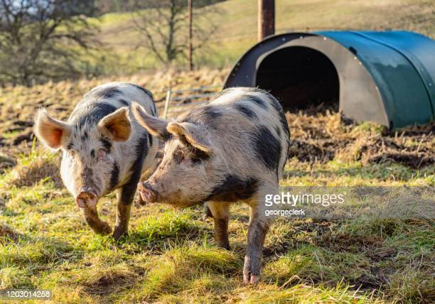 two free-range pigs together in a field - pig in shit stock pictures, royalty-free photos & images