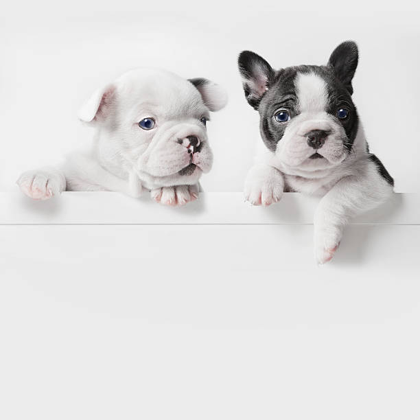 Two French Bulldog Puppies Peer Over A Wall Wall Art