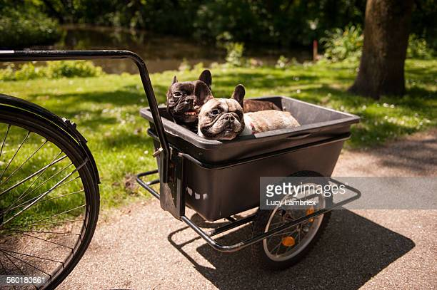 Two French bulldogs being transported behind bike